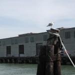 Seagull at Fishermans Wharf, Pier 33