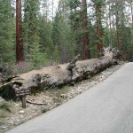 A fallen Giant Sequoia in Mariposa Grove